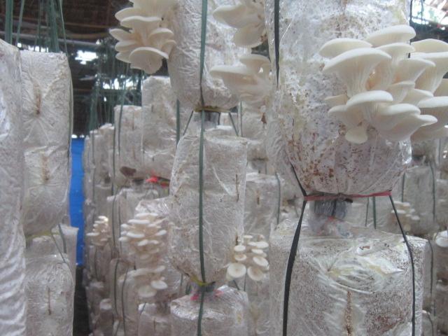 giải pháp trông nấm bằng máy tạo ẩm công nghiệp